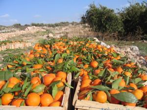 плантация апельсинов